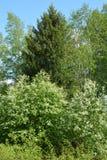 De bloesems die van de vogelkers in het bos tot bloei komen stock afbeeldingen