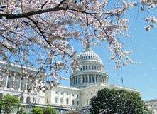 De Bloesems en Capitool April 2010 van de Kers van Washington Royalty-vrije Stock Fotografie