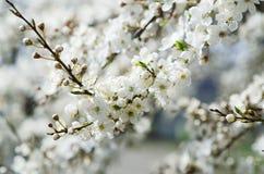 De Bloesems van de abrikozenboom Royalty-vrije Stock Foto