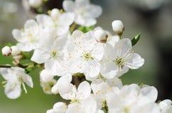 De Bloesems van de abrikozenboom Stock Foto's