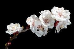 De Bloesems van de Amandel van de lente stock fotografie