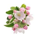 De Bloesems van de appel. Royalty-vrije Stock Foto's