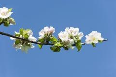 De bloesems van de appel stock foto's
