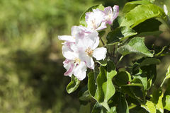 De bloesems van de appel stock afbeeldingen