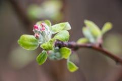 De bloesems van de appel in de lente Stock Afbeelding