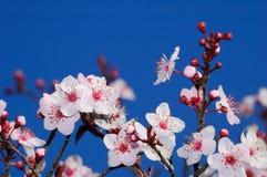 De bloesems van de appel in de vroege lente royalty-vrije stock foto's