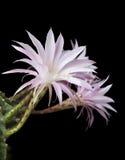 De bloesems van de cactus op zwarte achtergrond Royalty-vrije Stock Afbeeldingen