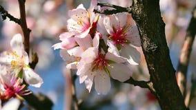 De bloesems van de de lentekers, roze bloemen stock video