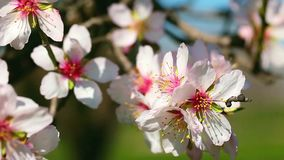 De bloesems van de de lentekers, roze bloemen stock videobeelden