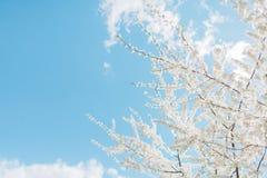De bloesems van de de lentekers, witte bloemen Stock Foto