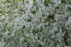 De bloesems van de de lentekers, witte bloemen Royalty-vrije Stock Foto's