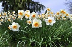 De bloesems van de gele narcis in een park Stock Foto