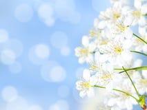 De bloesems van de kers in bloei Stock Fotografie