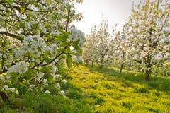 De bloesems van de kers in de lente Stock Fotografie