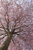 De bloesems van de kers in de lente Stock Afbeeldingen