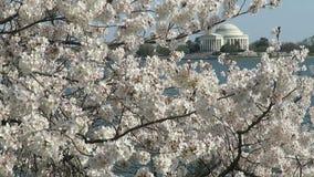 De Bloesems van de kers en Gedenkteken Jefferson stock videobeelden