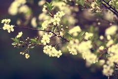 De bloesems van de kers op een de lentedag Stock Foto