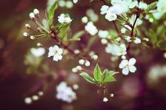 De bloesems van de kers op een de lentedag Royalty-vrije Stock Foto's