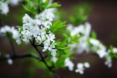 De bloesems van de kers op een de lentedag Stock Afbeeldingen