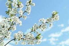 De Bloesems van de kers springen Wit op stock foto