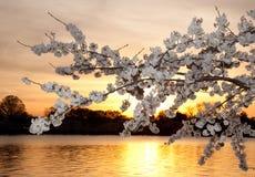 De bloesems van de kers tegen zonsondergang Royalty-vrije Stock Afbeeldingen