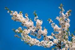 De bloesems van de kersenboom Stock Afbeeldingen