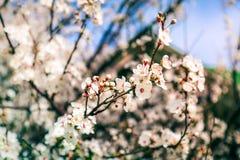 De bloesems van de kersenboom De bloei van de lentebloemen Stock Afbeelding