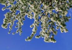 De bloesems van de kersenpruim in de lente Royalty-vrije Stock Afbeeldingen