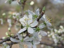 De bloesems van de kersenpruim het gardering bij de lente Stock Fotografie