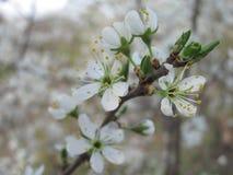 De bloesems van de kersenpruim het gardering bij de lente Royalty-vrije Stock Afbeeldingen