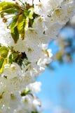 De bloesems van de lente Royalty-vrije Stock Afbeelding
