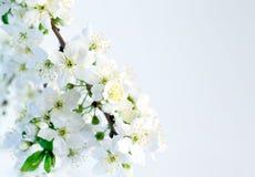 De bloesems van de lente die op witte achtergrond worden geïsoleerdM Royalty-vrije Stock Afbeelding