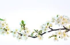 De bloesems van de lente die op witte achtergrond worden geïsoleerdt Stock Foto