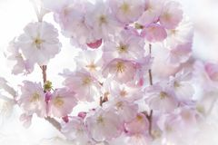 De bloesems van de lentesakura Stock Afbeelding