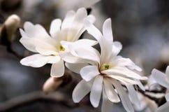 De Bloesems van de magnolia Royalty-vrije Stock Afbeeldingen