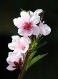 De Bloesems van de nectarine Stock Afbeeldingen