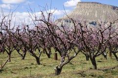 De Bloesems van de perzik op Boomgaard Mesa stock afbeelding
