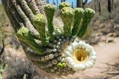 De Bloesems van de Saguarocactus Stock Afbeeldingen
