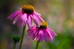 De Bloesems van Echinacea Stock Foto