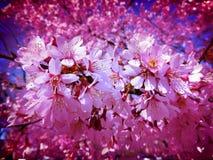 De Bloesems van het lavendelmidden van maart Royalty-vrije Stock Foto's