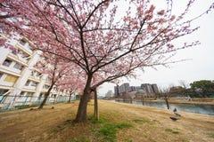 De bloesems van de kers in Japan stock fotografie