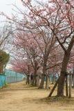 De bloesems van de kers in Japan royalty-vrije stock afbeelding