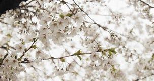 De bloesems van de kers in volledige bloei stock videobeelden