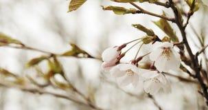 De bloesems van de kers in volledige bloei stock video
