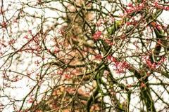 De bloesems van de kersenboom Bloeiende de lentebloemen in Parijs Stock Foto's