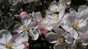 De bloesems van de de lenteappel in de Oekraïne Royalty-vrije Stock Foto