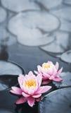 De bloesems van Lotus Stock Afbeeldingen