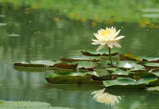 De bloesems van Lotus Royalty-vrije Stock Fotografie
