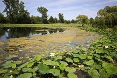 De bloesems van Lotus in vijver op golfcursus royalty-vrije stock foto's