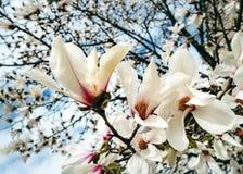 De Bloesems van magnoliayulan Soulangeana op een Magnoliaboom tegen blauwe Hemel stock foto